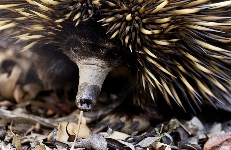 Австралия: Колючий караван