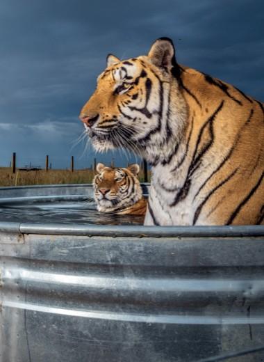 Тигры по соседству