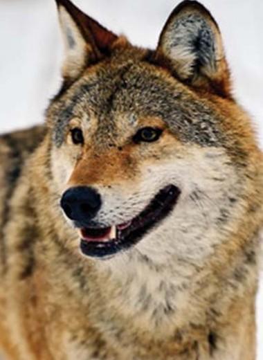 То ли волк, то ли собака