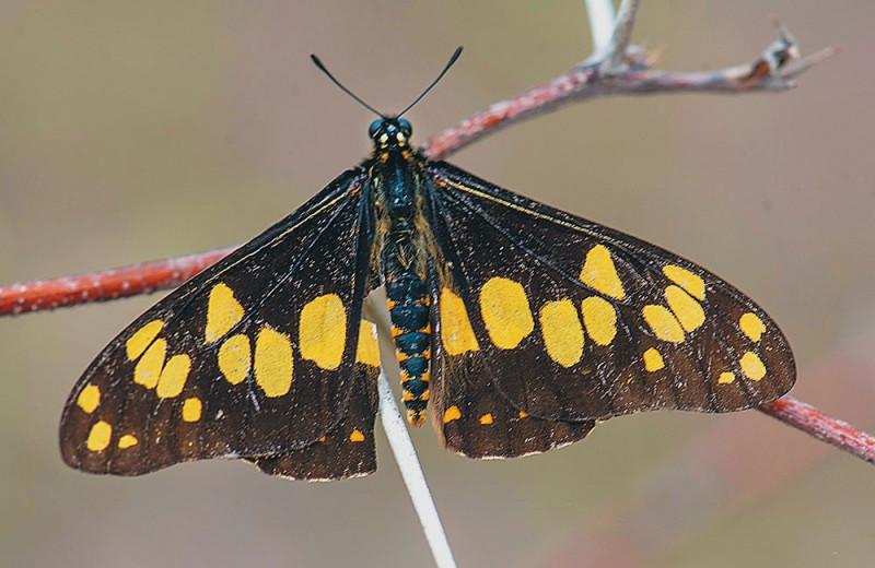 Бабочка барония — живое ископаемое