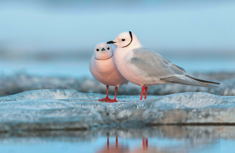 «Жар-птица» Арктики