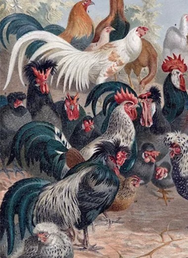 Первая курица