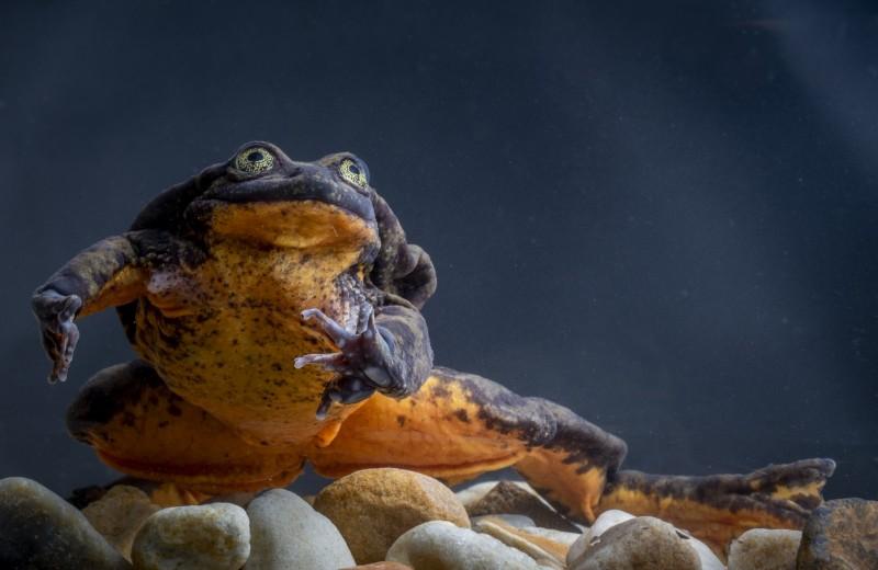 Ромео и Джульетта: одинокому самцу лягушки нашли пару спустя 10 лет