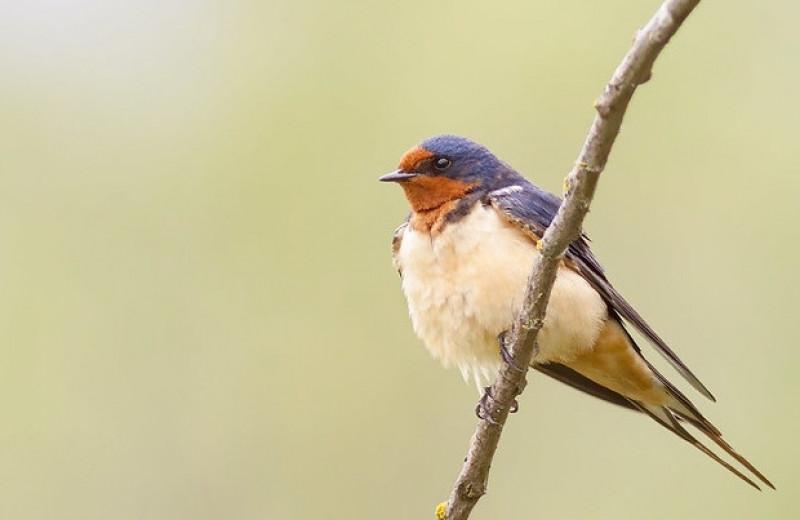 Коротконогость самцов деревенских ласточек связали с ранним началом размножения