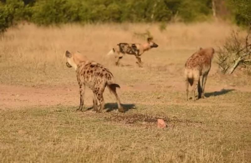 Гиеновидные собаки пытаются одолеть гиену: видео