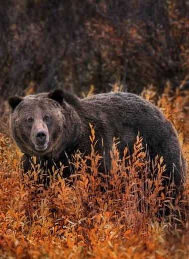 Что превращает медведей в секс-гигантов?