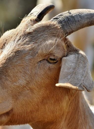 Как козлы и ослы приходят в политику