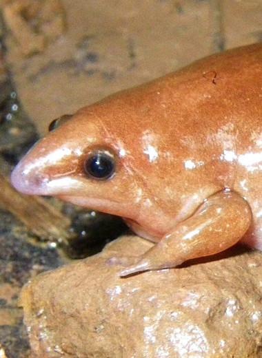 Почему ученые назвали безобидную лягушку «зомби»