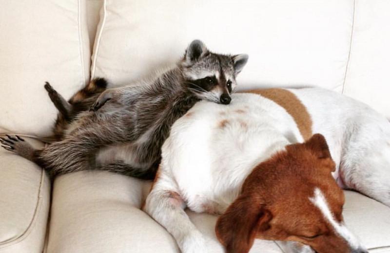 Как живет енот, считающий себя собакой