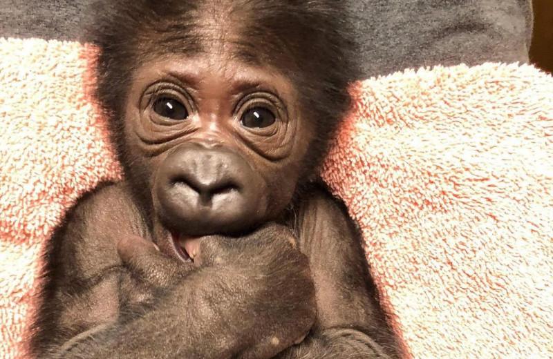 В американском зоопарке родилась редкая горилла: видео