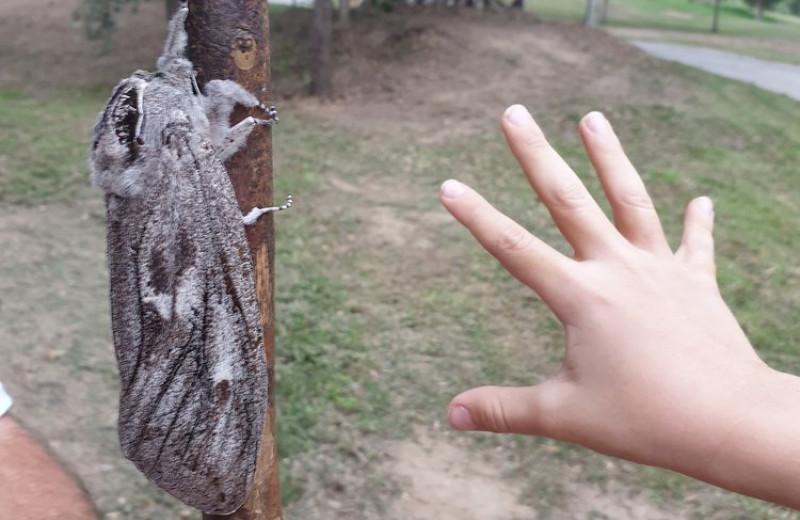В Австралии нашли гигантского мотылька: фото