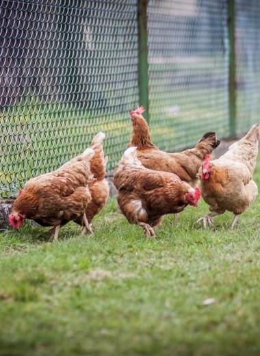 Курицы и петухи в древности доживали до глубокой старости
