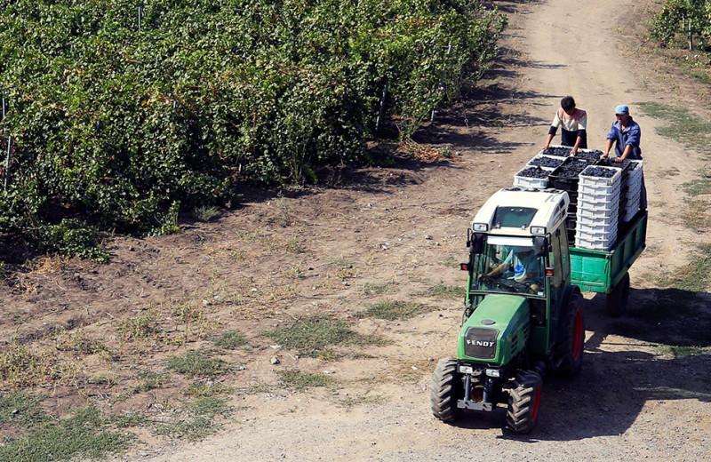 Жизнь кубанских виноделов, часть 1. Франция-на-Кубани