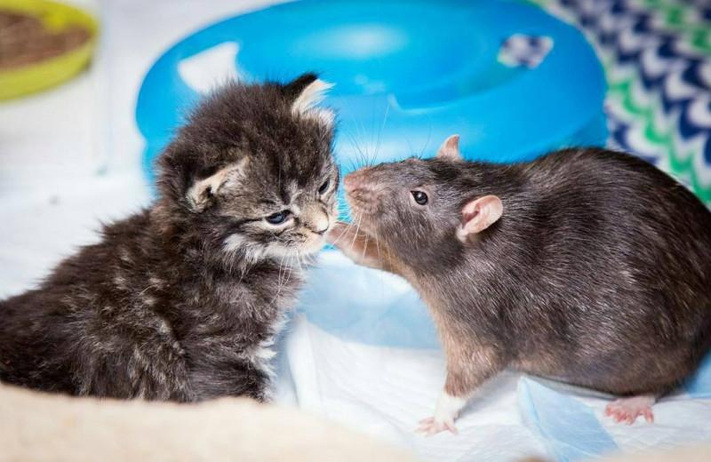 Как кошки подружились с крысами: видео