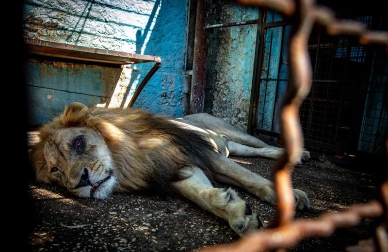 Животные из «худшего зоопарка Европы» спасены