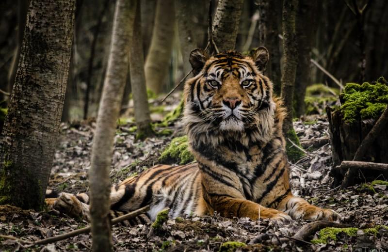 Трагическая случайность: в Индонезии убита беременная тигрица