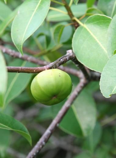 Где растет «дерево смерти» – самое ядовитое в мире?