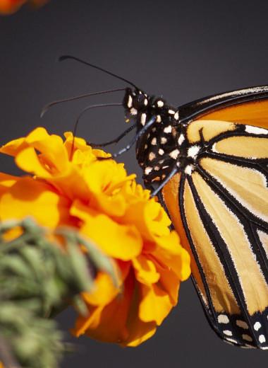 Зачем бабочки-монархи поедают собственных детенышей?