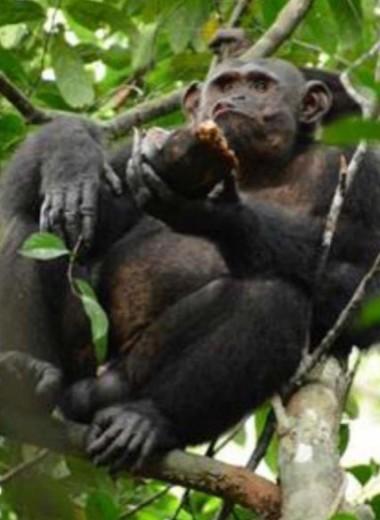Шимпанзе охотятся на черепах, и об этом никто раньше не знал: видео