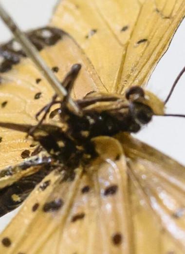 """Вынужденная моногамия: зачем бабочкам """"пояс"""" верности"""