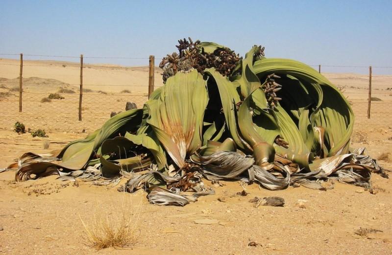 Вельвичия удивительная, которая может доживать до 2000 лет, находится под угрозой исчезновения