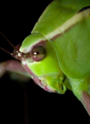 Кузнечики проигнорировали ультразвуковые сигналы летучих мышей-хищников