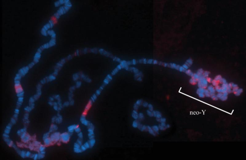 Генетики подтвердили токсичность Y-хромосомы для самцов плодовых мушек