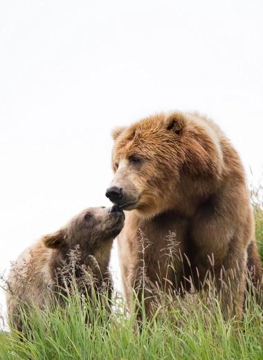 Медведицы стали больше заботиться о медвежатах