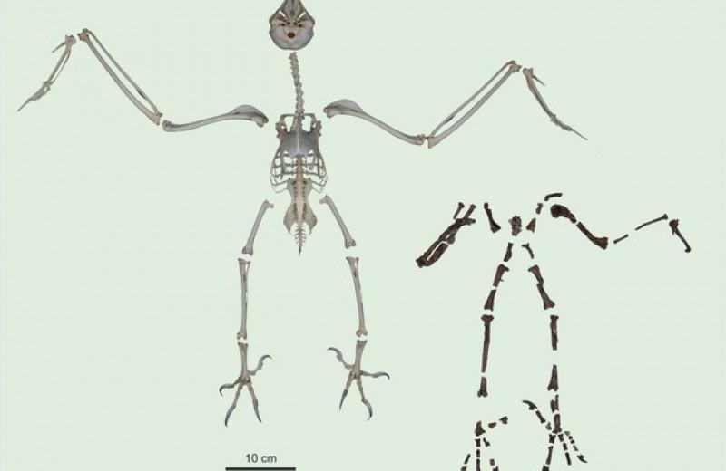 Сове возрастом 55 миллионов лет приписали манеру охоты ястреба