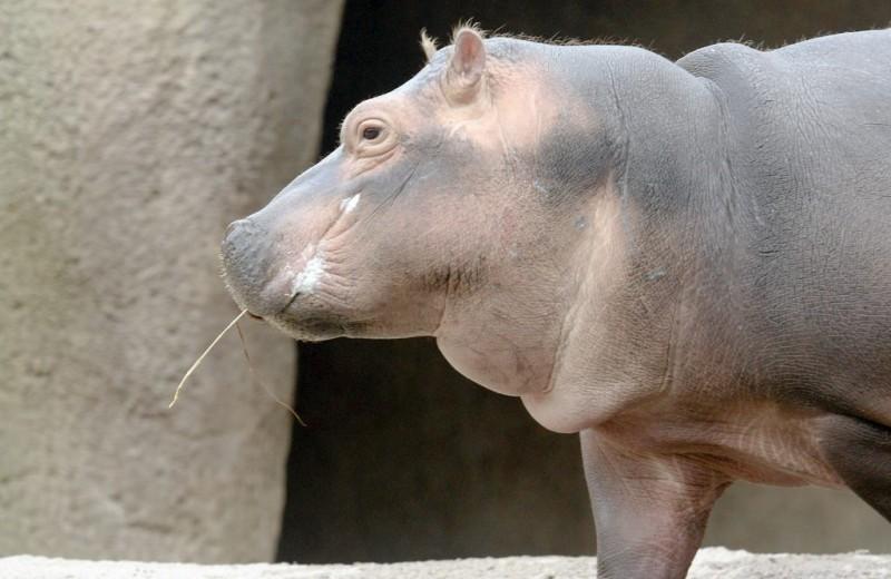 Фиона: самый очаровательный бегемот на планете