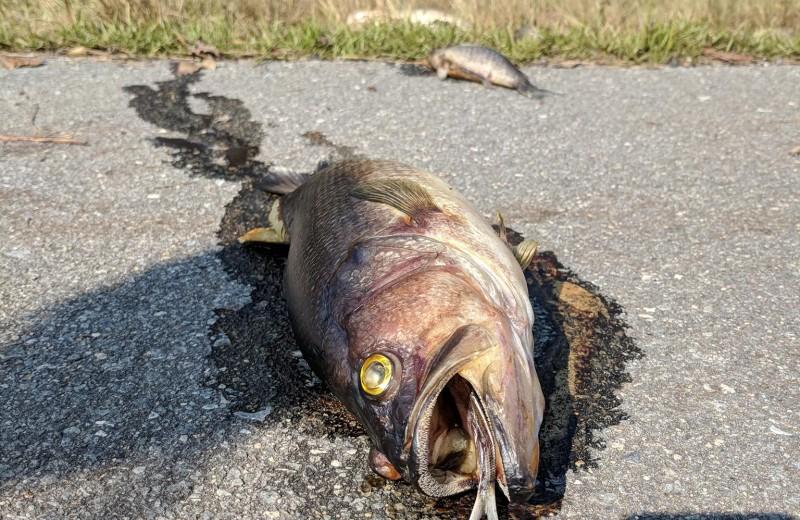 Загадка шоссе, усеянного мертвой рыбой: видео