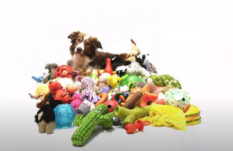 Новое исследование выявило наличие таланта у собак
