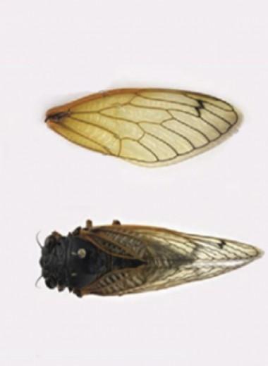 Жирные кислоты и насыщенные углеводороды сделали крылья цикад бактерицидными