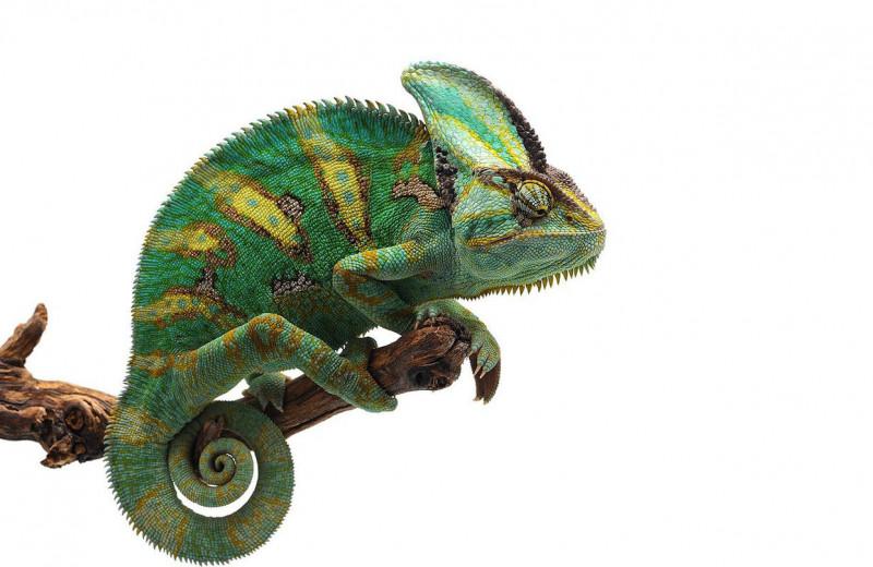Язык цвета: почему хамелеоны на самом деле меняют свой окрас
