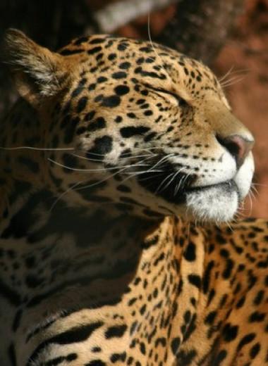 Ягуары в затапливаемых лесах Амазонии освоили древесный образ жизни