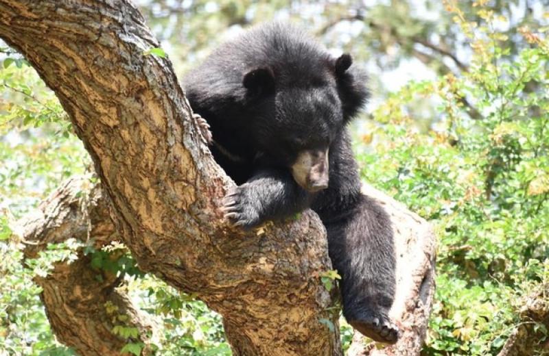 Гималайские медведи прижились на юге Южной Кореи после реинтродукции