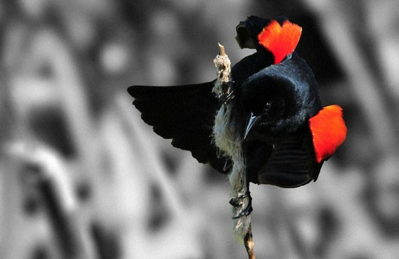 Черные трупиалы услышали о гнездовых паразитах от других птиц