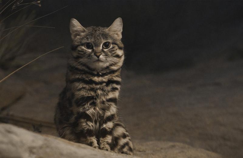 Неизвестные дикие кошки: черноногая кошка
