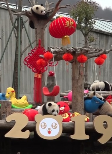 Панды празднуют китайский Новый год: видео