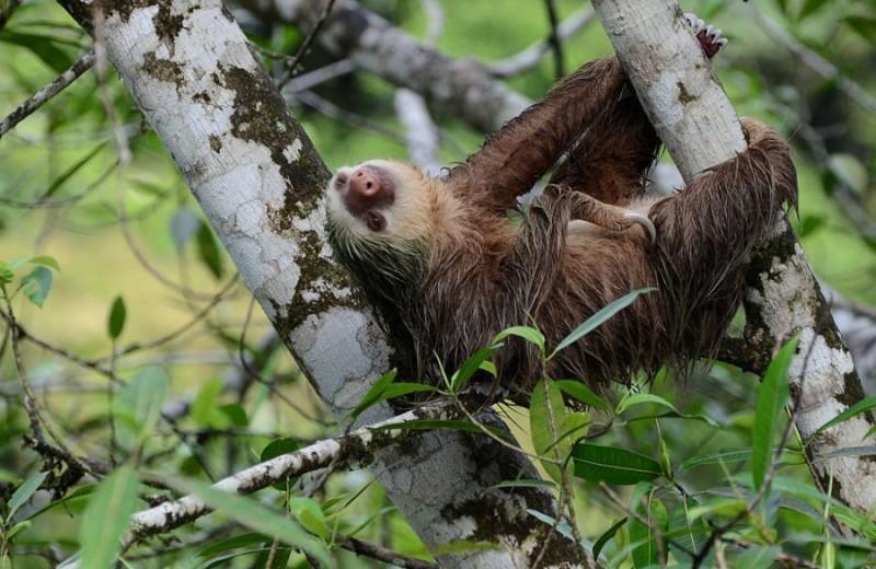 Ленивцы Гоффмана не против, если самки им изменяют