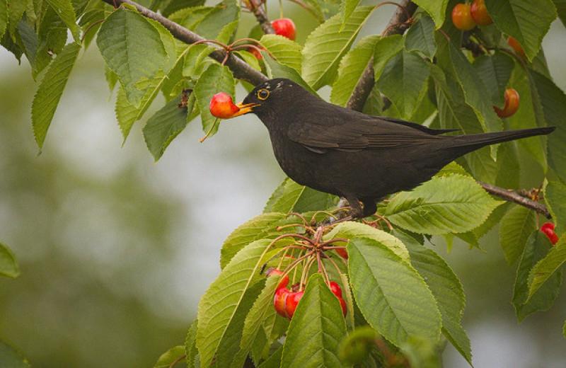 Плодоядные птицы не помогут большинству европейских растений сбежать от изменений климата