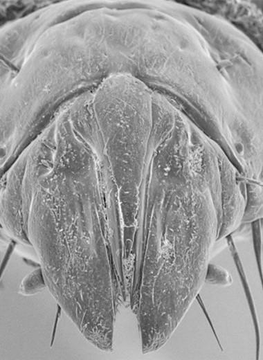 Челюсть или швейцарский нож? Жестокие личинки австралийских мух-убийц
