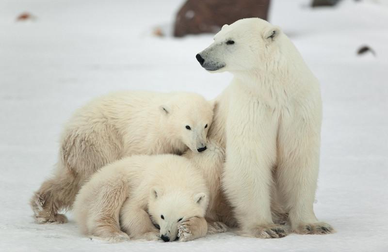 Хорошие новости для белых медведей