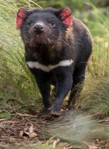 Дьяволы вернулись: редких эндемиков выпустили на австралийском материке
