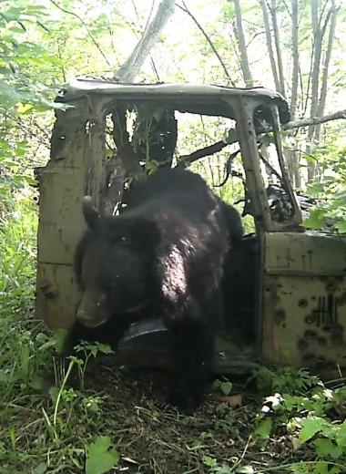 Медведь облюбовал заброшенную машину: видео из «Земли леопарда»