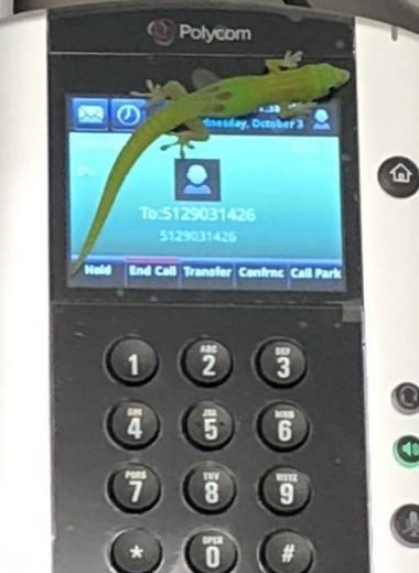 «Алло, кто это?» Как геккон разыграл ветеринара