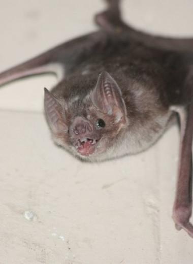 Самка обыкновенного вампира усыновила детеныша умершей подруги