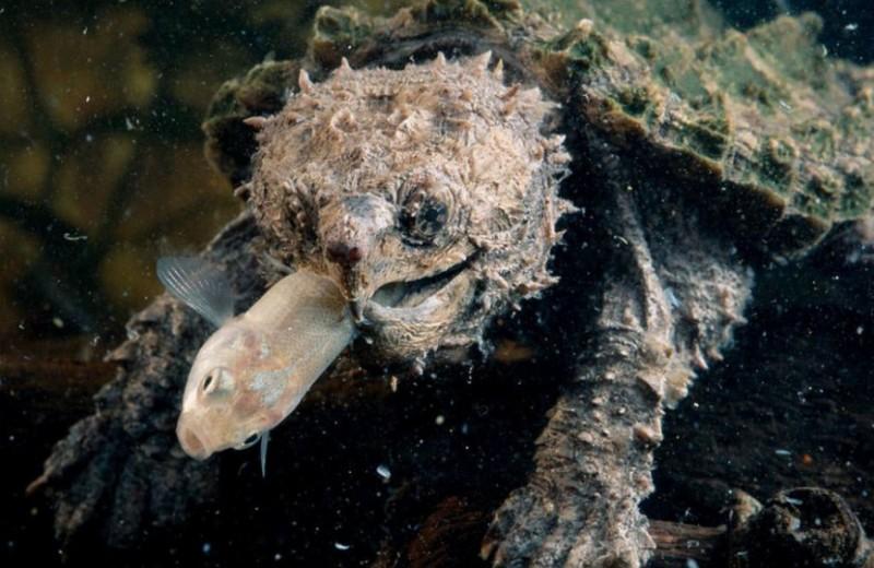 Необычная приманка грифовой черепахи: видео