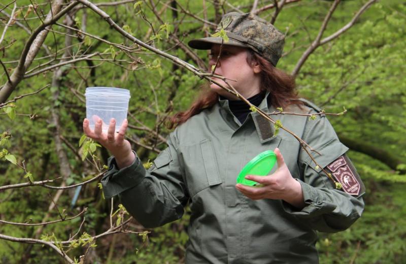 Как осы-паразиты должны спасти сочинские каштаны