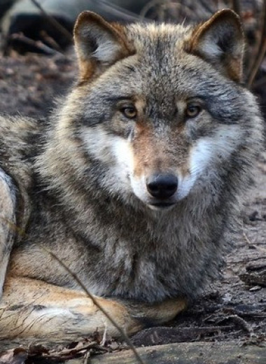 Возвращение волков в штат Висконсин снизило число ДТП с участием оленей